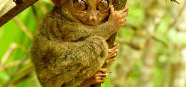 Bohol Tarsiers the smallest primate
