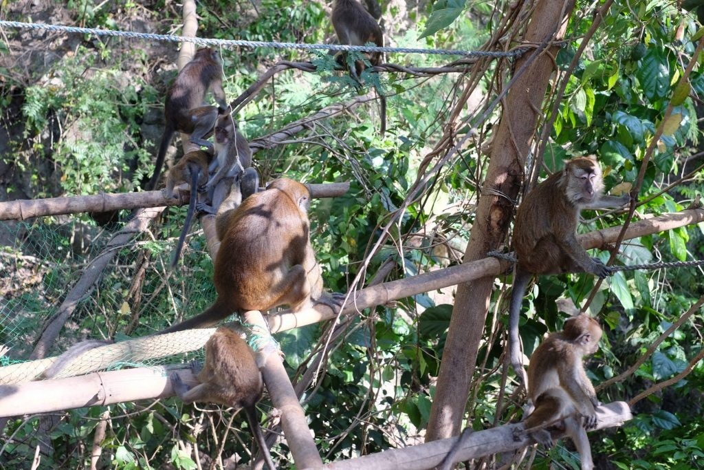 oslob monkey watching